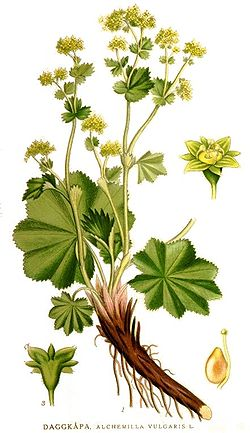Alchemilla Ladies Mantle