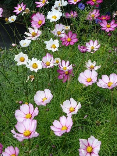 Cosmos dark pink edges