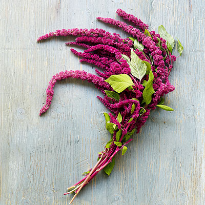 Amaranth Love Lies Bleeding