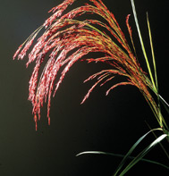 Ornamental Grass Ruby Silk