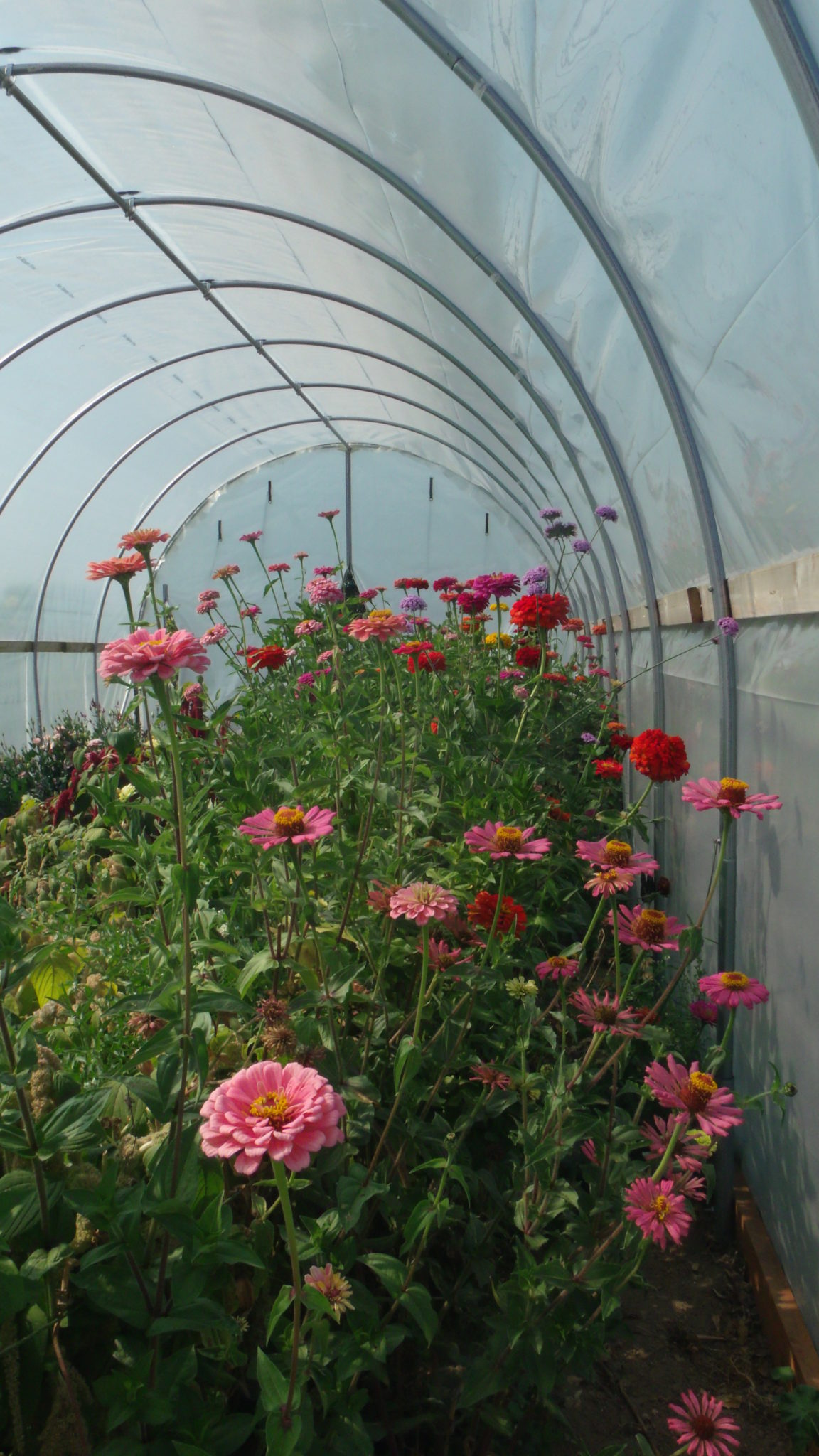 Zinnias in the hoophouse