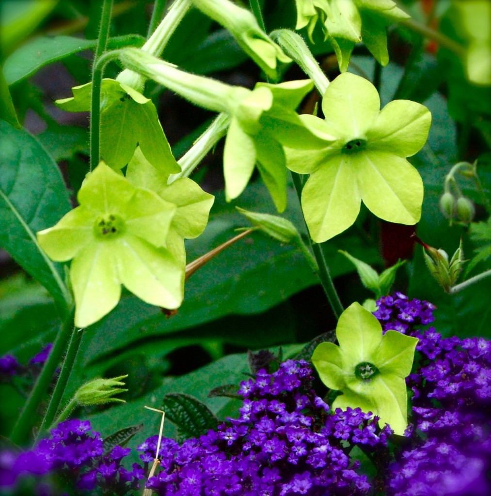 Nicotiana-lime-green-